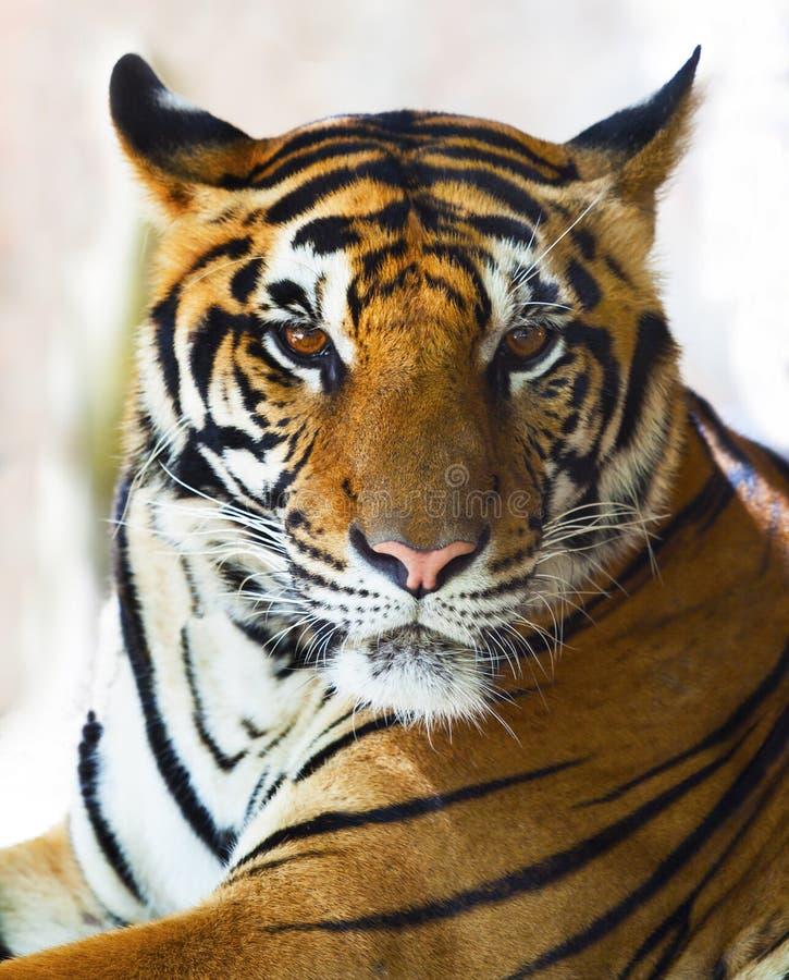 Ciérrese encima de cara de la cara indochina del tigre fotos de archivo libres de regalías