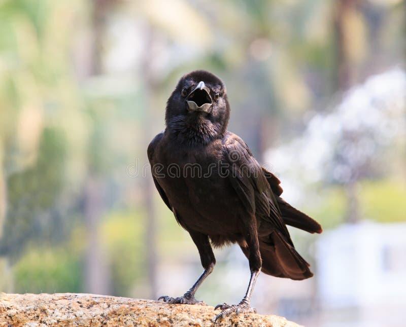 Ciérrese encima de cara del cuervo negro del pájaro que se encarama en roca con vagos borrosos imágenes de archivo libres de regalías