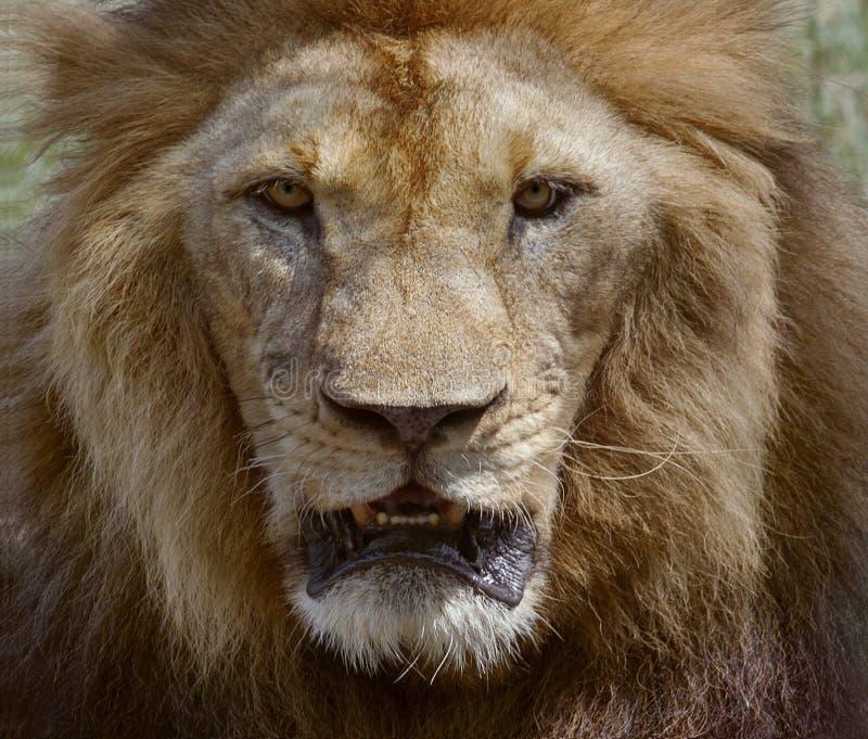Ciérrese encima de cara del rey africano peligroso de los animales del safari del león masculino imagenes de archivo