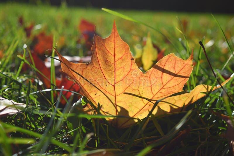 Ciérrese encima de concepto selectivo del otoño de la caída de la estación de la hoja de arce del focuse imagen de archivo