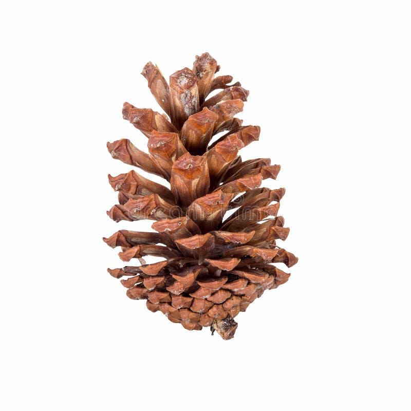 Ciérrese encima de cono del pino en aislado fotos de archivo libres de regalías