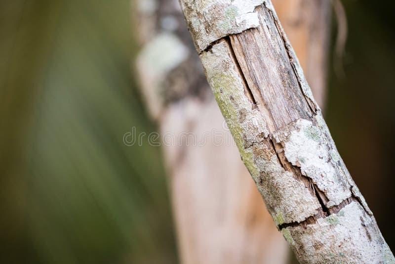 Ciérrese encima de corteza de la grieta en el árbol de la rama Concepto de las enfermedades vegetales fotografía de archivo libre de regalías
