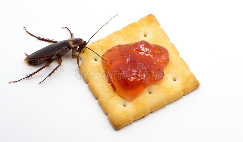 Ciérrese encima de cucaracha en la galleta con el atasco rojo Cucaracha que come la galleta en el fondo blanco del fondo imagen de archivo