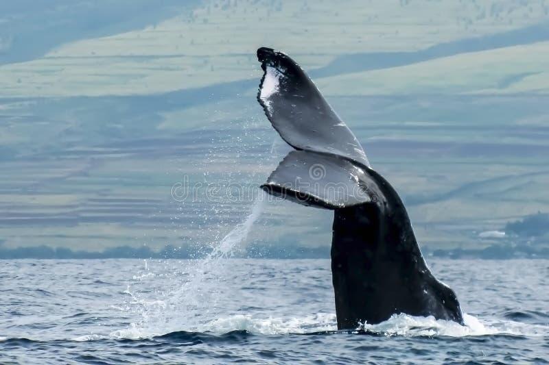 Ciérrese encima de cuento de la ballena jorobada con el espray sobre el océano fotografía de archivo libre de regalías