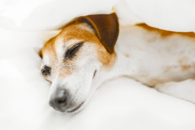 Ciérrese encima de dormir de mentira sonriente del pequeño perro del dulce del retrato en la cama blanca imagen de archivo