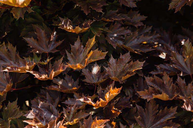 Ciérrese encima de fondo natural de las hojas de arce imágenes de archivo libres de regalías