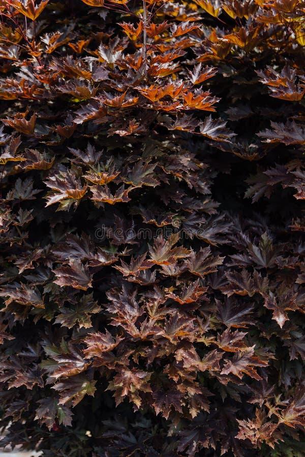 Ciérrese encima de fondo natural de las hojas de arce foto de archivo