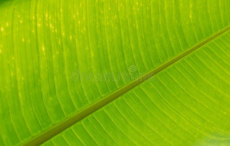 Ciérrese encima de fondo verde de la textura de la naturaleza de la hoja del plátano fotografía de archivo libre de regalías