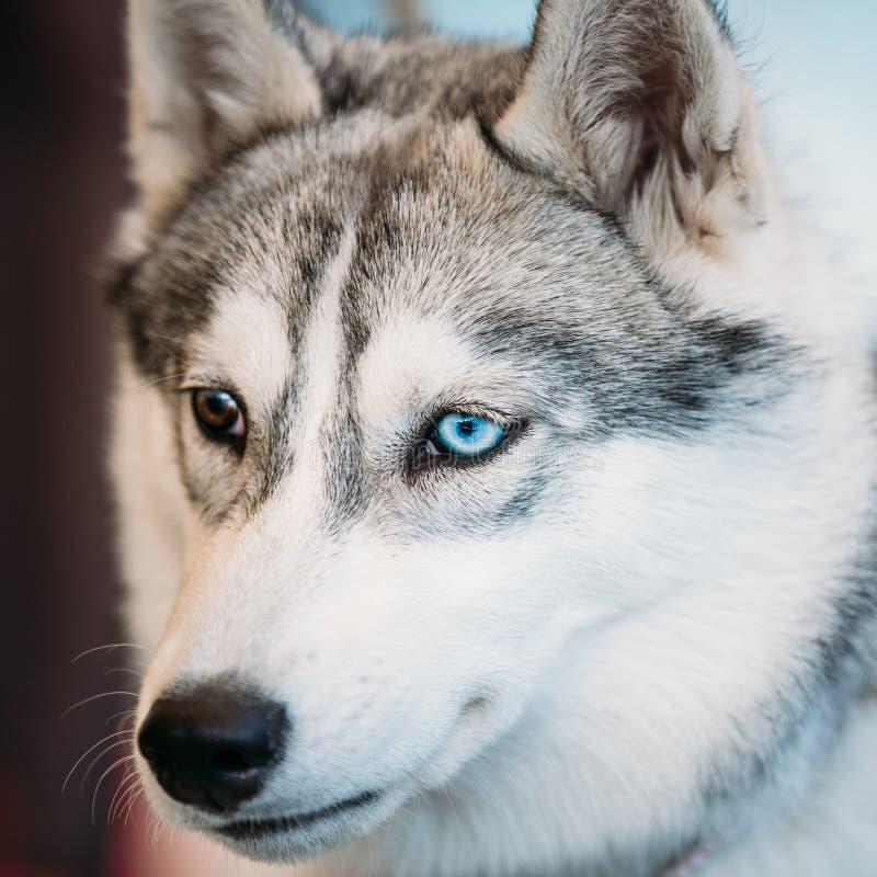 Ciérrese encima de Husky Eskimo Dog With joven principal foto de archivo libre de regalías