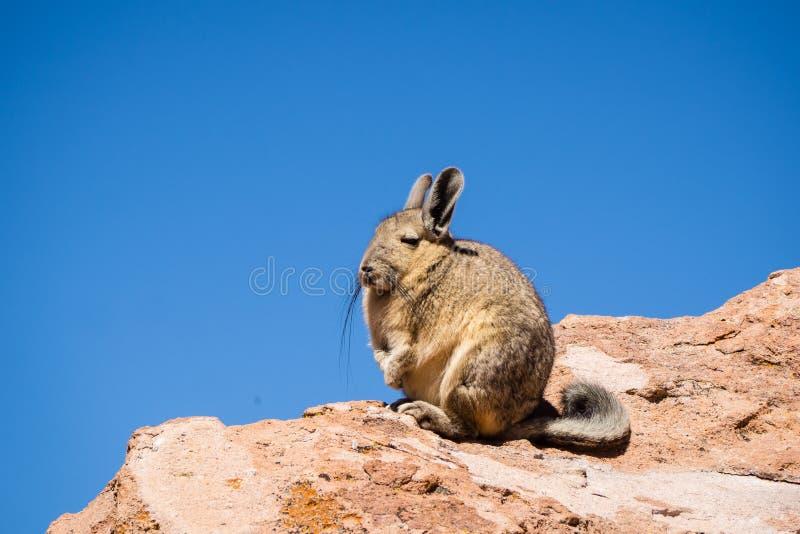 Ciérrese encima de imagen del vizcacha en el altiplano en Bolivia Los Andes corrieron imagen de archivo libre de regalías