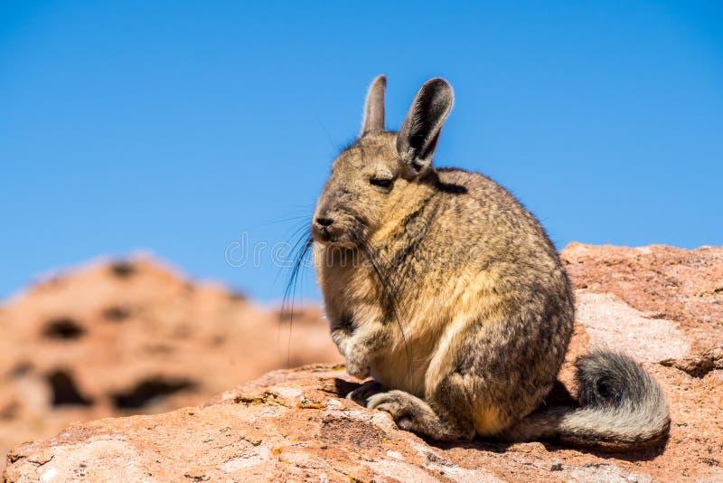 Ciérrese encima de imagen del vizcacha en el altiplano en Bolivia Los Andes corrieron foto de archivo