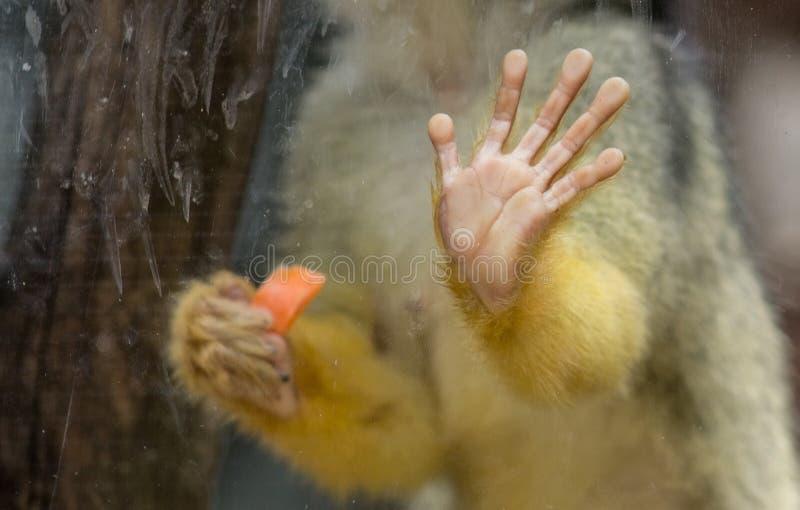 Ciérrese encima de imagen de un mono atrapado dentro de una jaula de cristal fotos de archivo