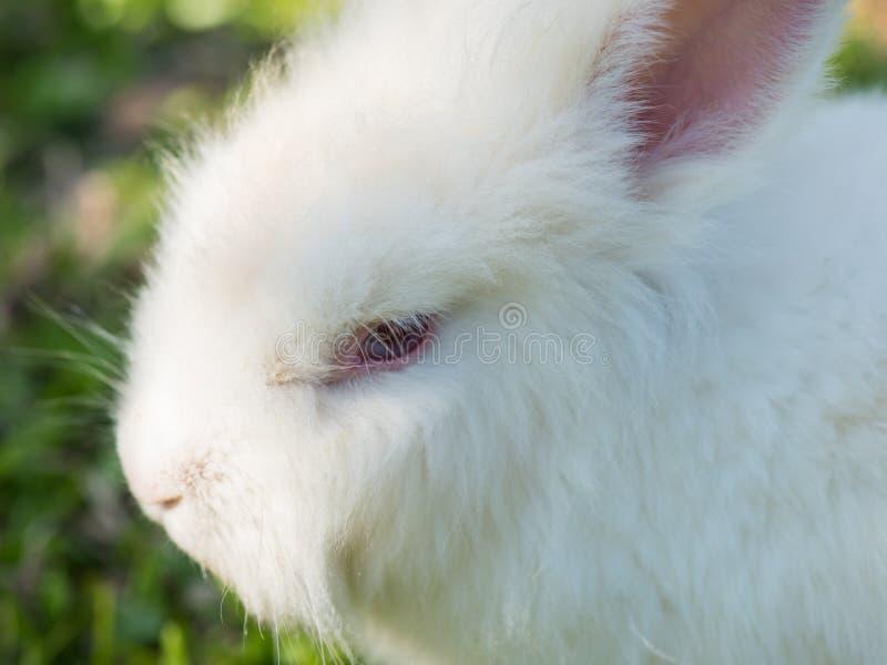 Ciérrese encima de la cara blanca del conejo imagen de archivo libre de regalías