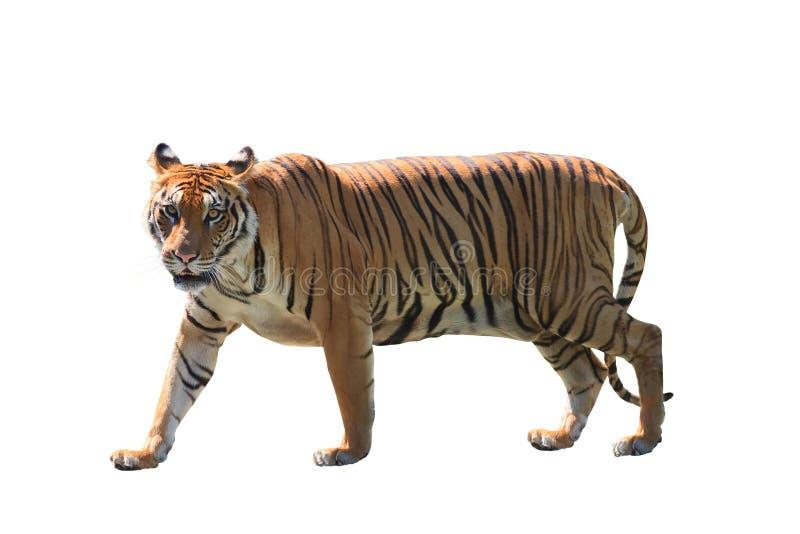 Ciérrese encima de la cara del fondo blanco aislado del tigre de Bengala imagenes de archivo