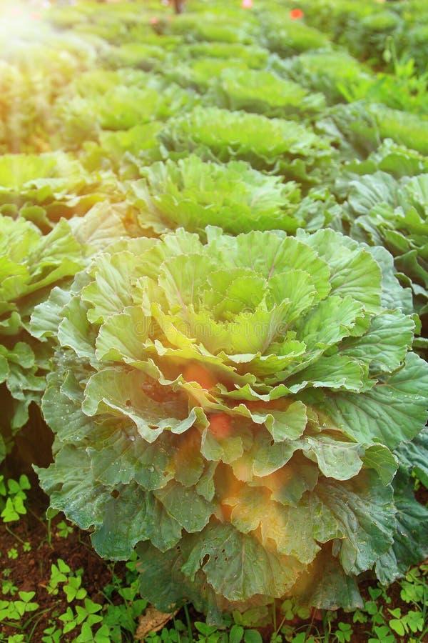 Ciérrese encima de la col de largo viva que florece en jardín y agricultura imagen de archivo