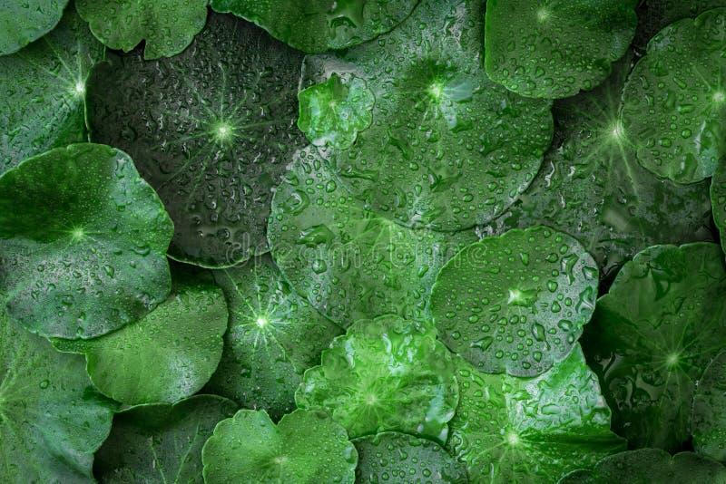 Ciérrese encima de la decoración del leaft del verde del círculo como verde del absract imagenes de archivo