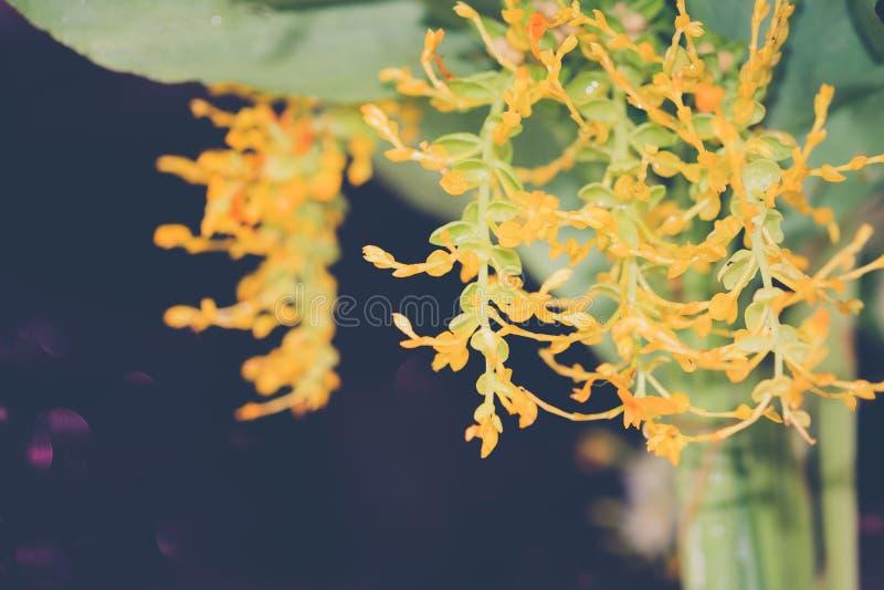 Ciérrese encima de la flor amarilla del árbol o del jengibre p del globba de las señoras del baile imagenes de archivo