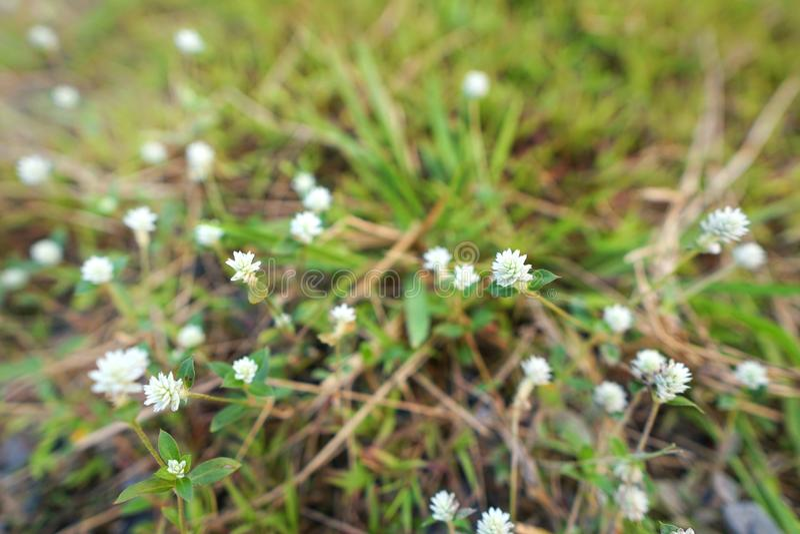 Ciérrese encima de la flor blanca en fondo de la hierba verde visión superior, fotografía de archivo libre de regalías