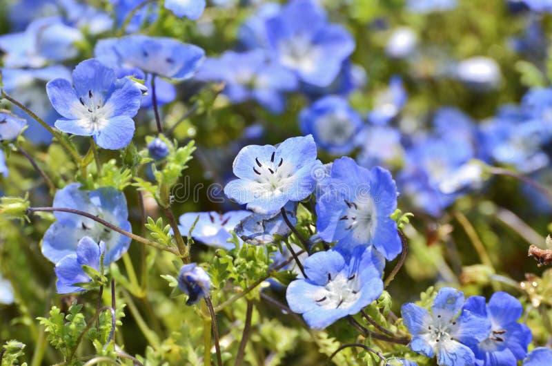 Ciérrese encima de la flor de Nemophila imagen de archivo libre de regalías