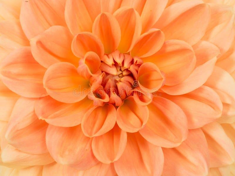 Ciérrese encima de la flor del crisantemo imagen de archivo