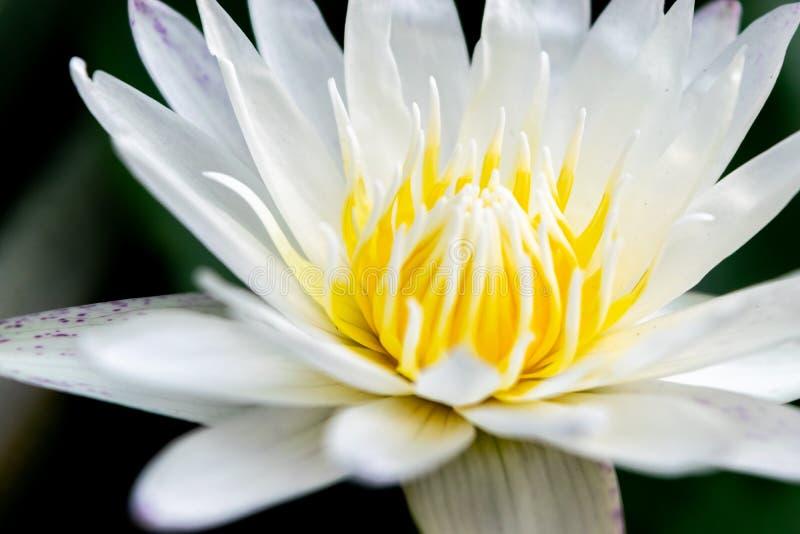 Ciérrese encima de la flor de loto foto de archivo libre de regalías