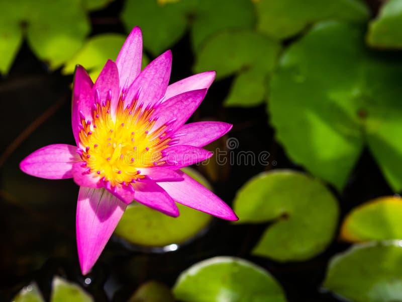 Ciérrese encima de la flor de loto rosada fotografía de archivo