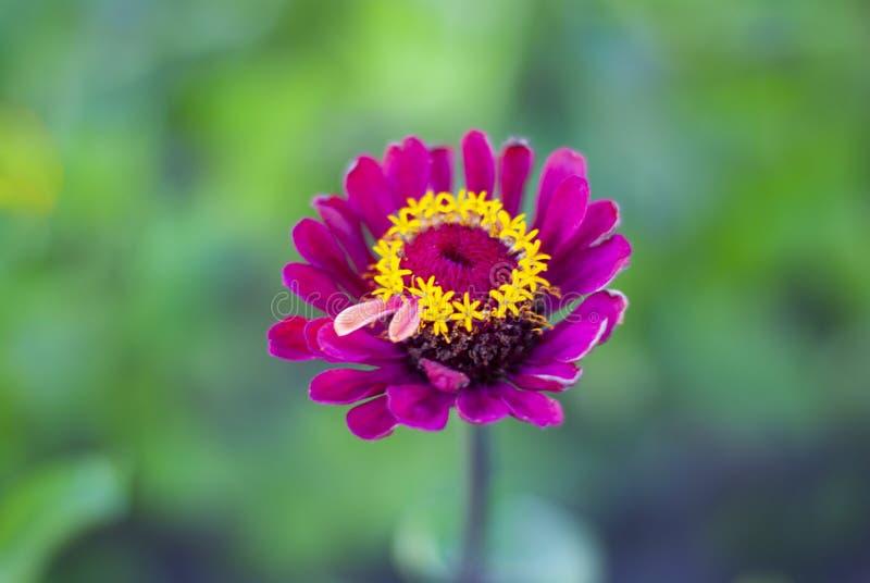 Ciérrese encima de la flor púrpura del zinnia en el jardín Violacea rosado hermoso Cav del Zinnia de la flor con el fondo verde d imagen de archivo libre de regalías