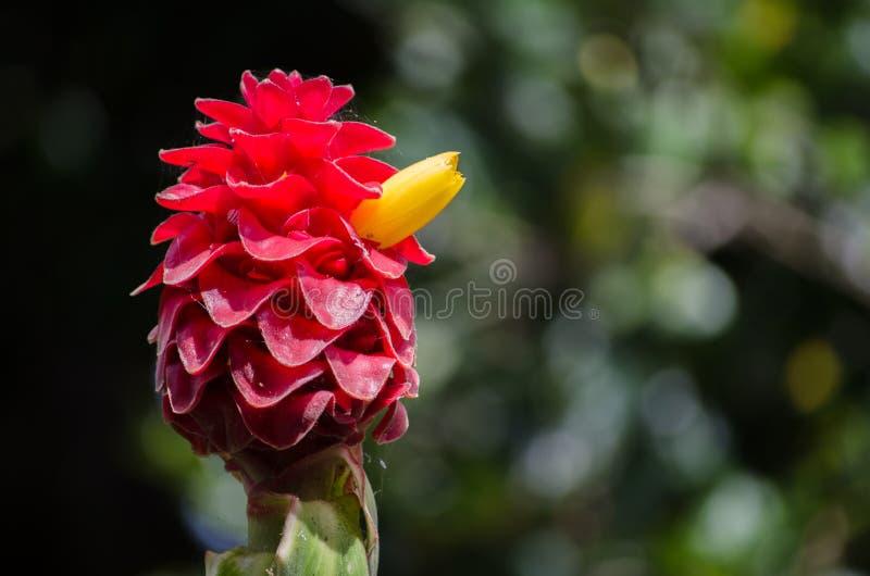 Ciérrese encima de la flor roja del ` del jengibre de la torre del costus del ` rojo del comosus en una estación de primavera en  foto de archivo