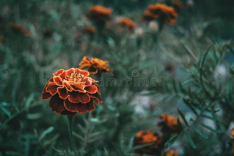 Ciérrese encima de la flor roja y amarilla del patula de los tagetes en un campo fotografía de archivo