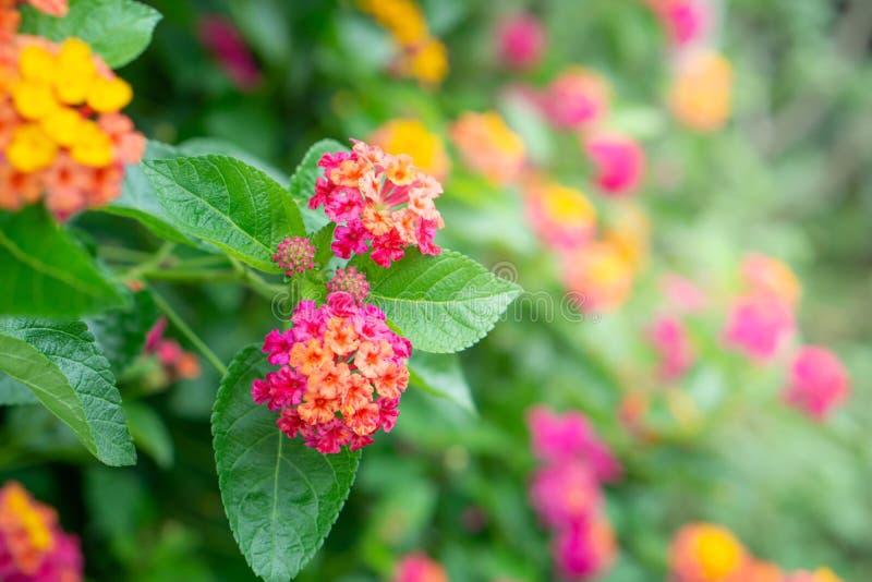 Ciérrese encima de la flor rosada y amarilla hermosa del camara del Lantana que florece en un jardín imagen de archivo libre de regalías
