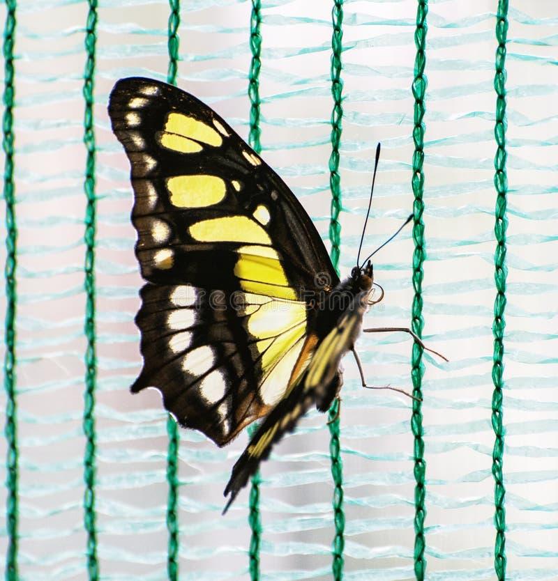 Ciérrese encima de la foto de la mariposa amarilla imagenes de archivo