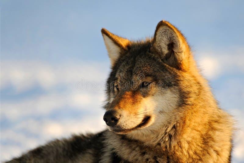 Ciérrese encima de la foto de un lobo y de un x28; Lupus& x29 del Canis; fotografía de archivo libre de regalías