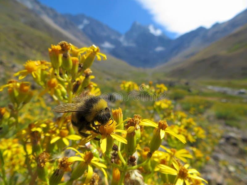 Ciérrese encima de la foto de una abeja con las montañas detrás de ella imagenes de archivo