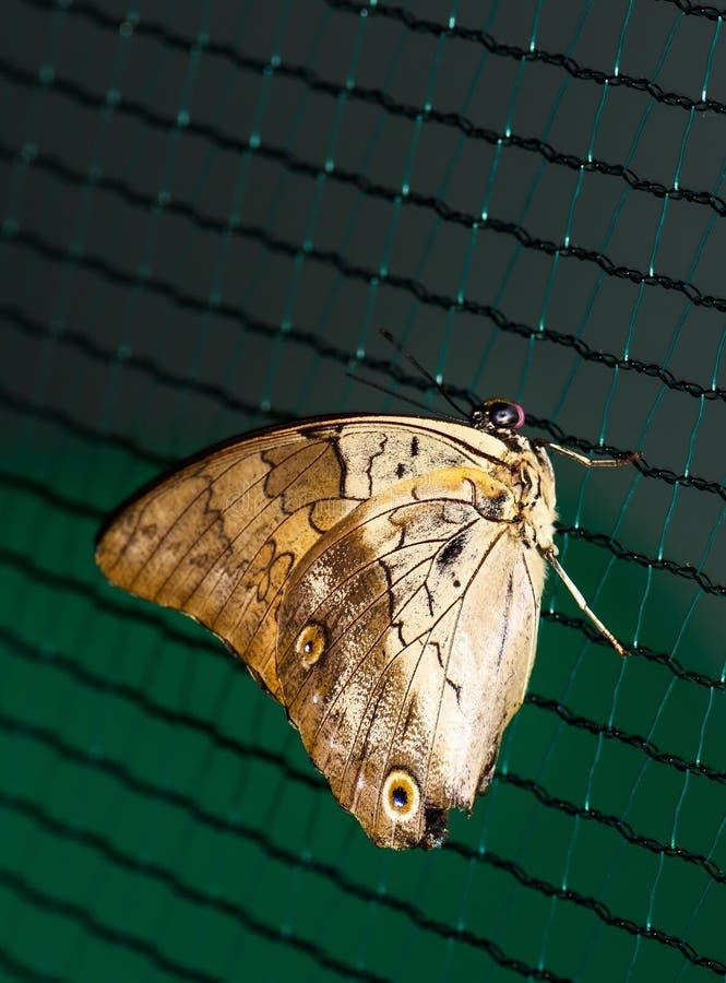 Ciérrese encima de la foto del soporte marrón grande de la mariposa fotos de archivo