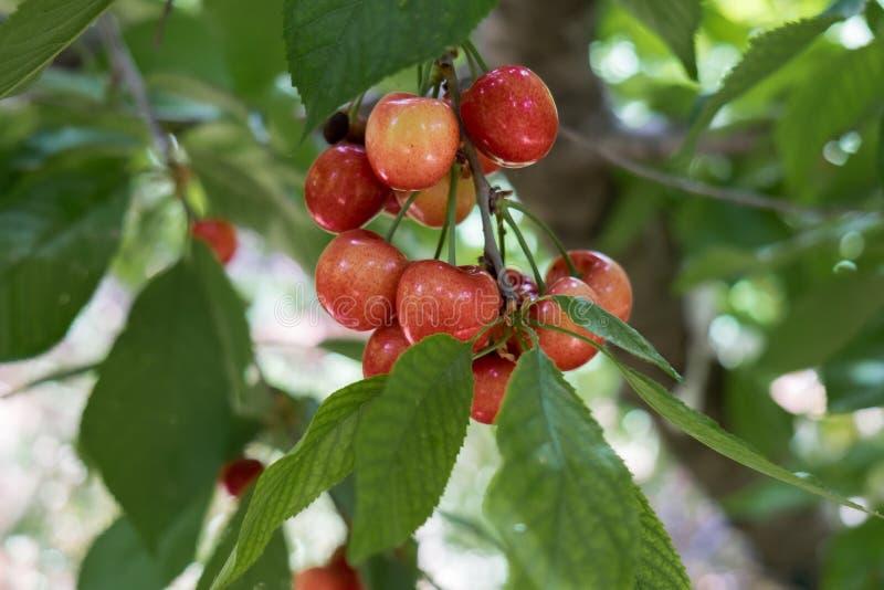 Ciérrese encima de la foto de las cerezas rojas amarillas maduras que crecen en rama fotos de archivo