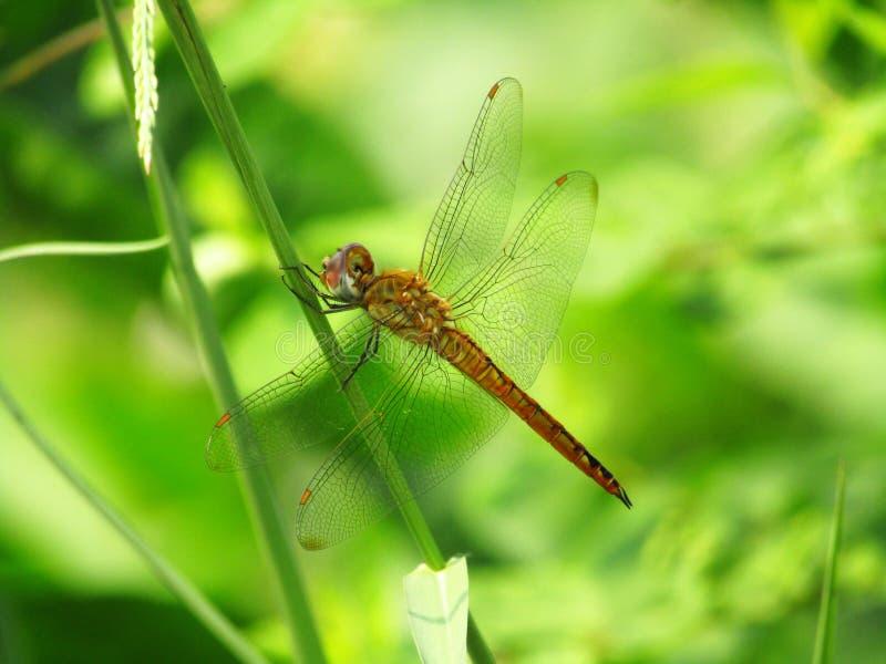 Ciérrese encima de la foto de las percas amarillas de los flavescens de Pantala de la libélula en la hierba imagen de archivo