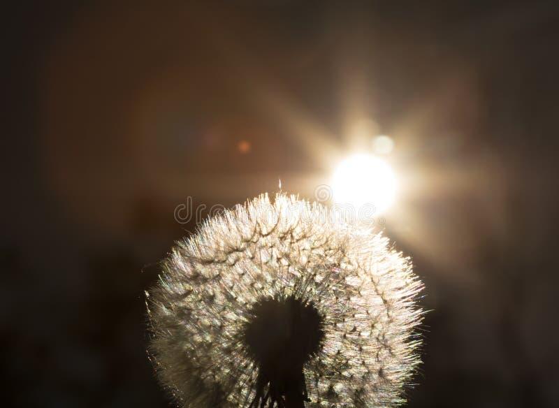 Ciérrese encima de la foto de mirada de oro en una planta del diente de león con el sol que la brilla de detrás que crea una llam foto de archivo