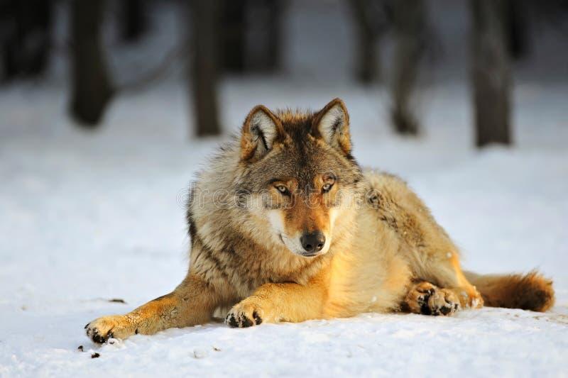 Ciérrese encima de la foto de un lupus de Wolf Canis foto de archivo