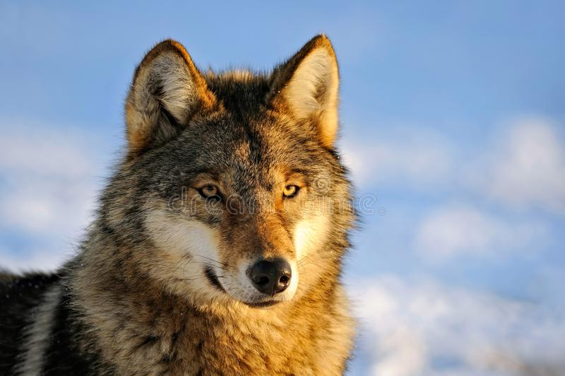 Ciérrese encima de la foto de un lupus de Wolf Canis imagen de archivo