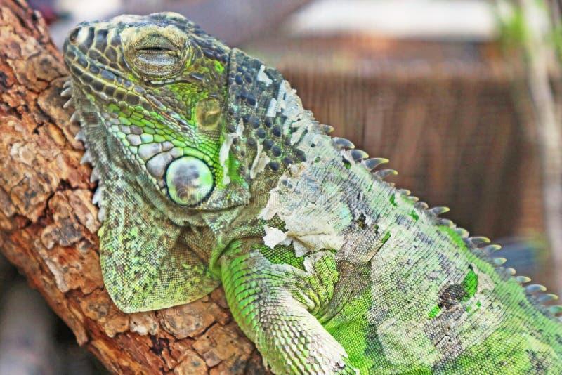 Ciérrese encima de la foto de una iguana el dormir imagen de archivo libre de regalías