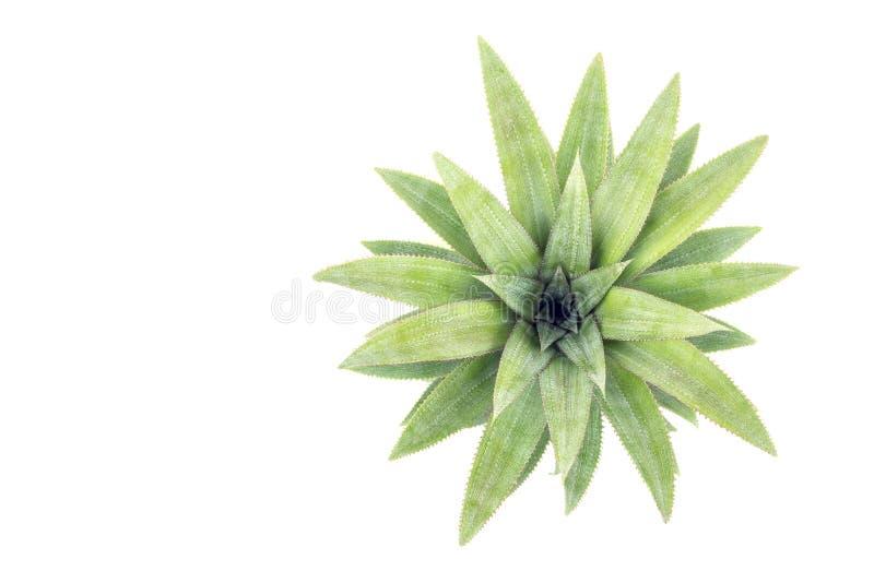 Ciérrese encima de la hoja verde de la piña aislada en blanco imagen de archivo libre de regalías
