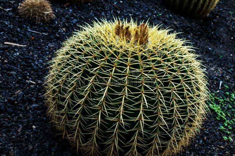 Ciérrese encima de la imagen del cactus fotos de archivo