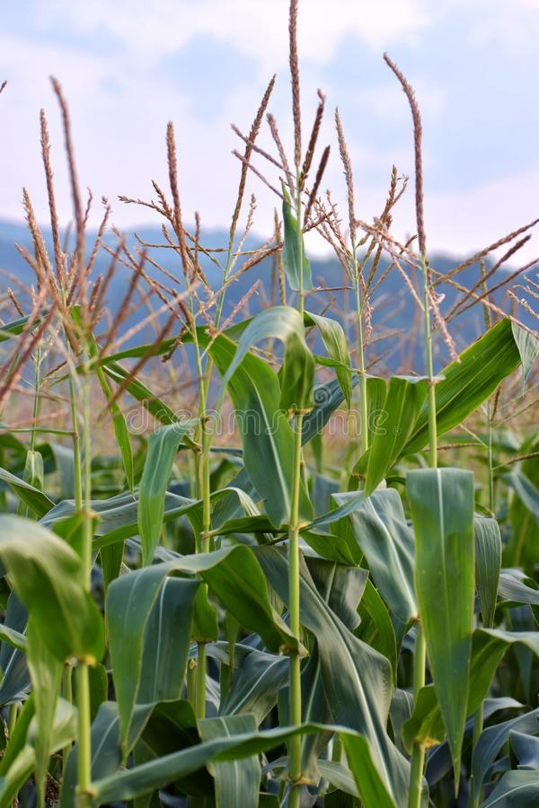 Ciérrese encima de la imagen detallada de la planta de maíz aislada con el cielo en fondo imagen de archivo