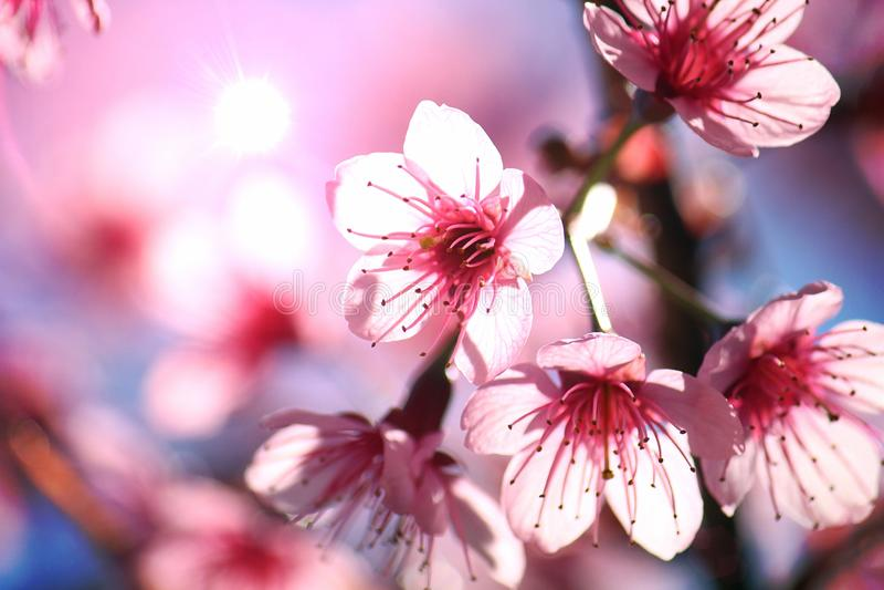 Ciérrese encima de la imagen de las flores tailandesas de los ramos de Sakura y del fondo del cielo azul foto de archivo