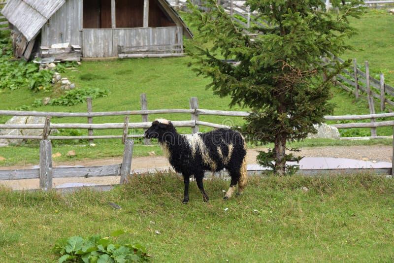 Ciérrese encima de la imagen de las ovejas coloreadas blancos y negros que se colocan en pasto con vista de la choza de madera de fotos de archivo