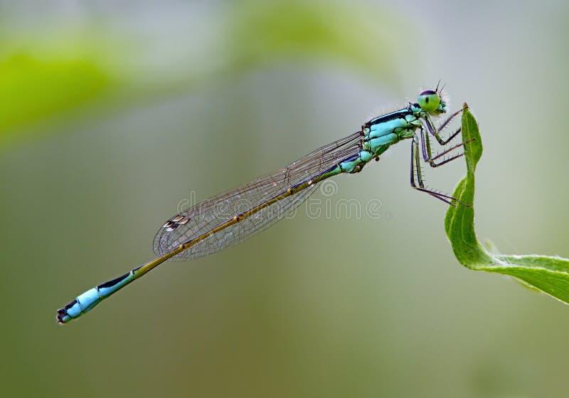 Ciérrese encima de la libélula de Coenagrionidae foto de archivo libre de regalías