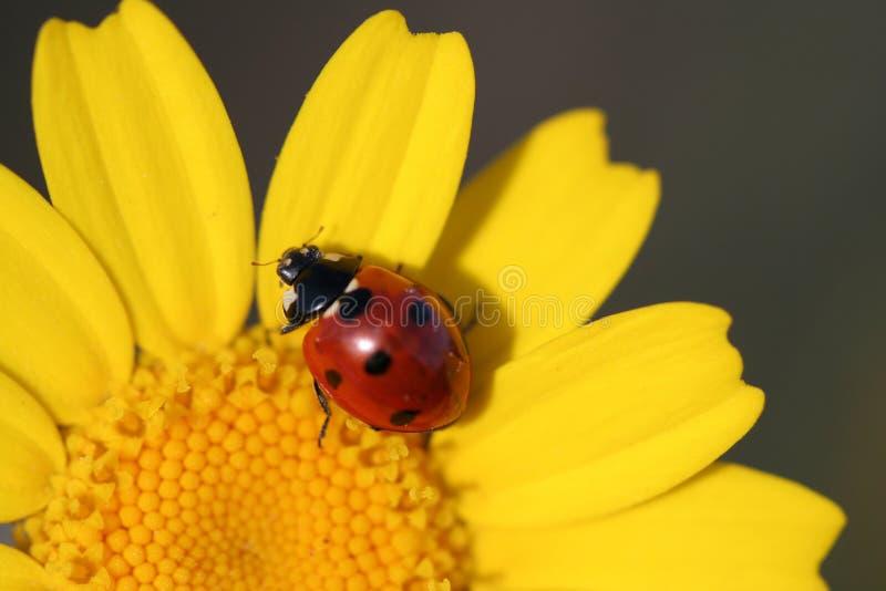 Ciérrese encima de la macro del ladybug foto de archivo libre de regalías