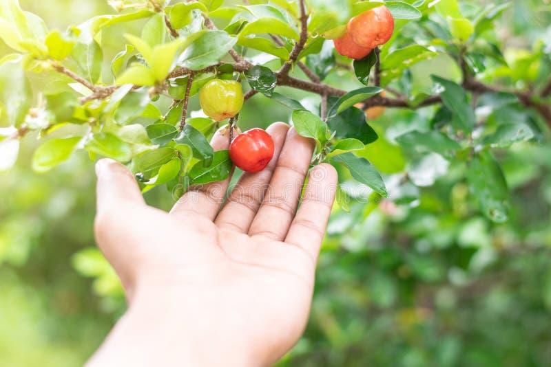 Ciérrese encima de la mano que sostiene la cereza del acerola tailandesa foto de archivo