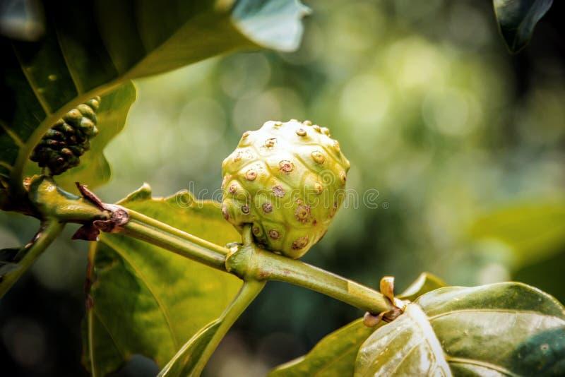 ciérrese encima de la medicina de Noni en árbol superior foto de archivo