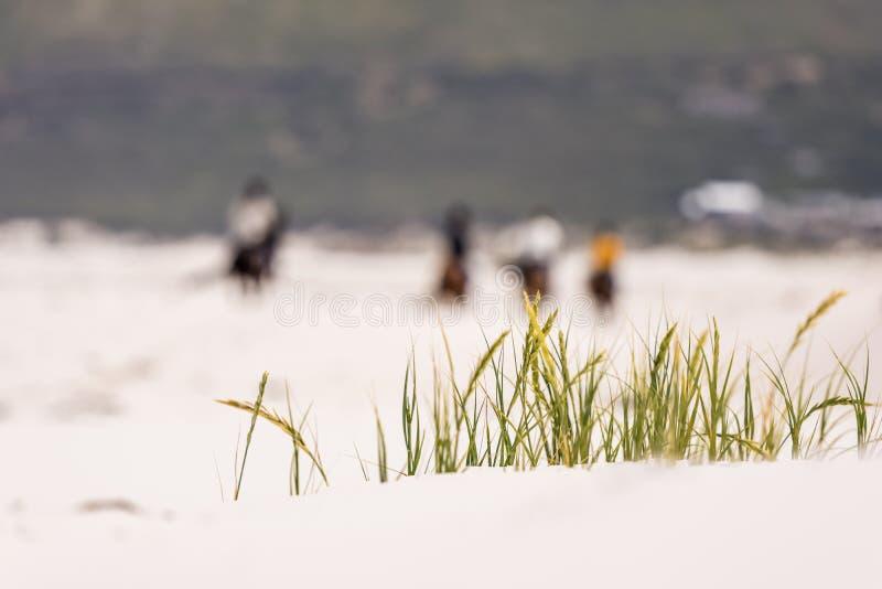 Ciérrese encima de la opinión la hierba que sopla en el viento en Noordhoek Long Beach cerca de Cape Town foto de archivo
